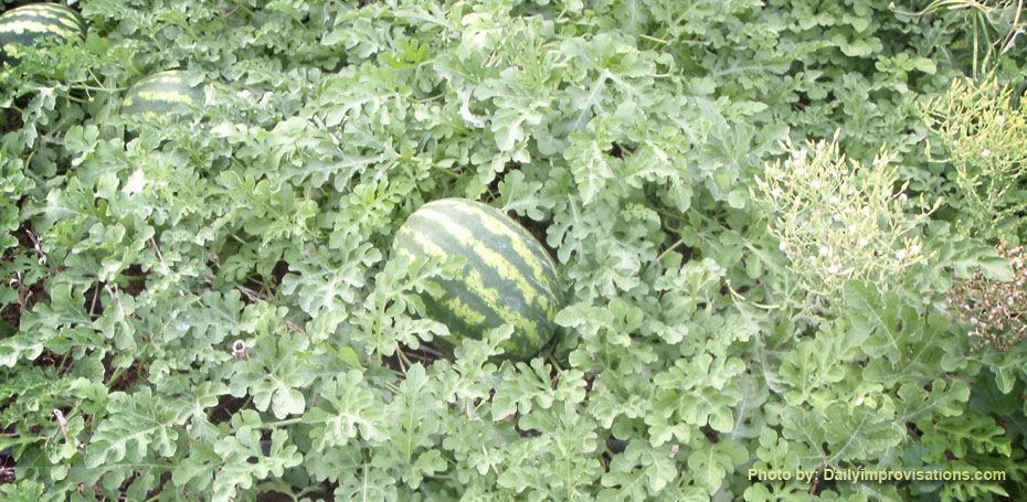 09102012e_watermelon patch