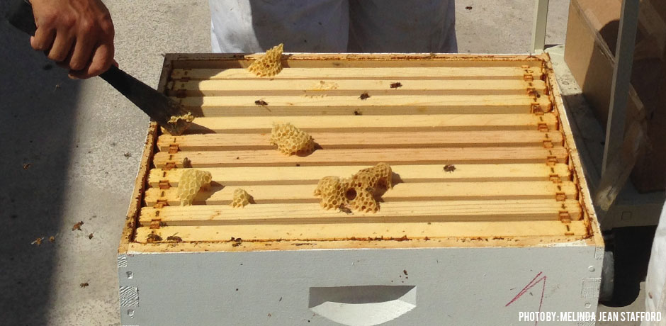 Your hive tool can also be used to scrap burr comb off hive equipment. This makes inspections easier because frames and lids will not stick together.