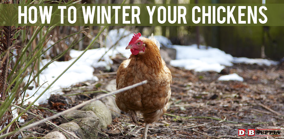 Winter-Your-Chickens