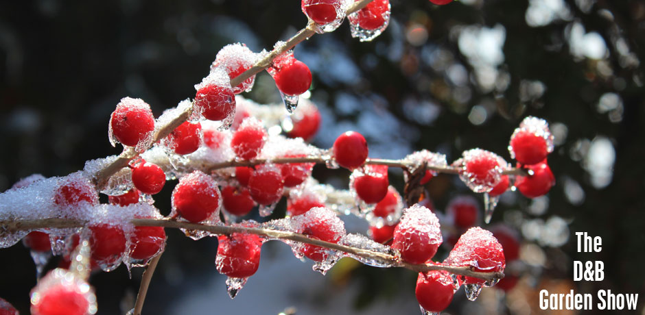010616_winterberry-with-frost