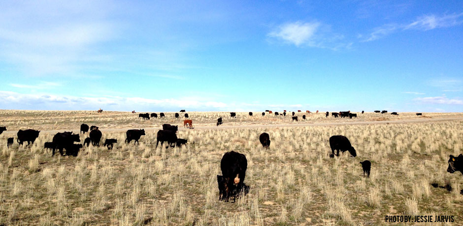 02102016_Cows-Trailing-in-Idaho