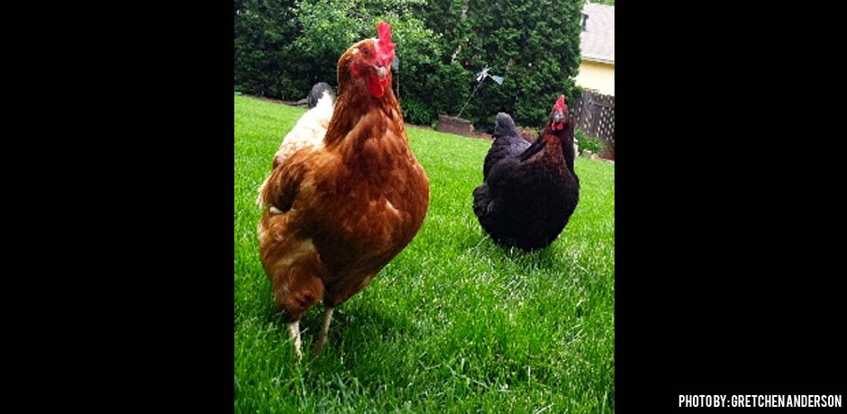 03012016_Gold-and-Black-Sex-Link-Chickens