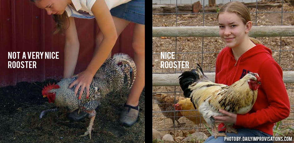 03302016_Never-Trust-A-Rooster-Mean-and-Nice-Roosters