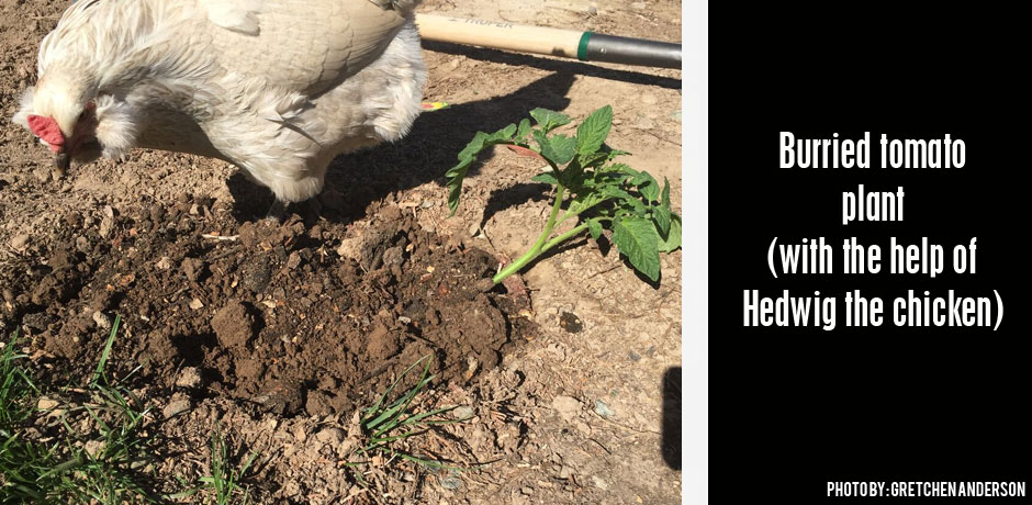 04192016_burried-tomato-plant-and-a-chicken