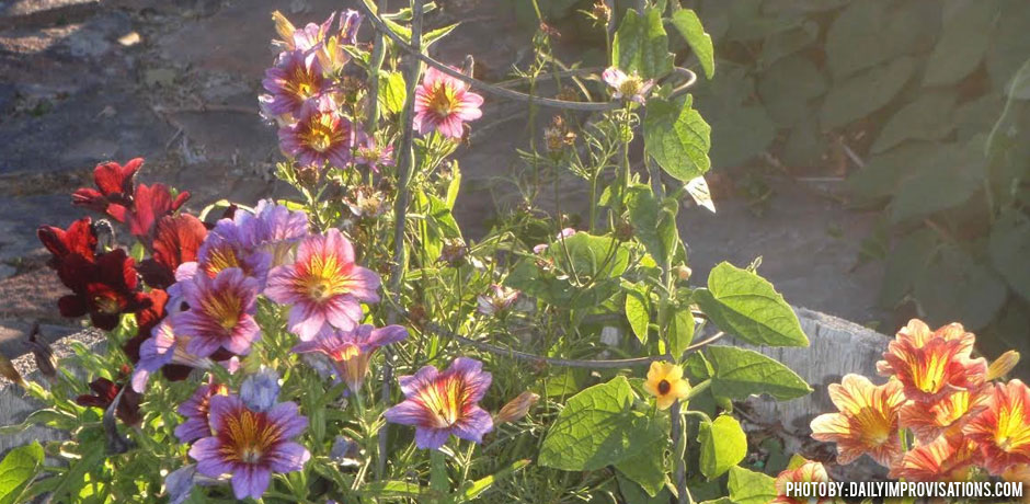 05032016_container-planting-salpiglossis-and-thunbergia-with-trellis-in-the-middle