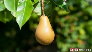 blog image for Customer Q&A: Good, Clean Pears...