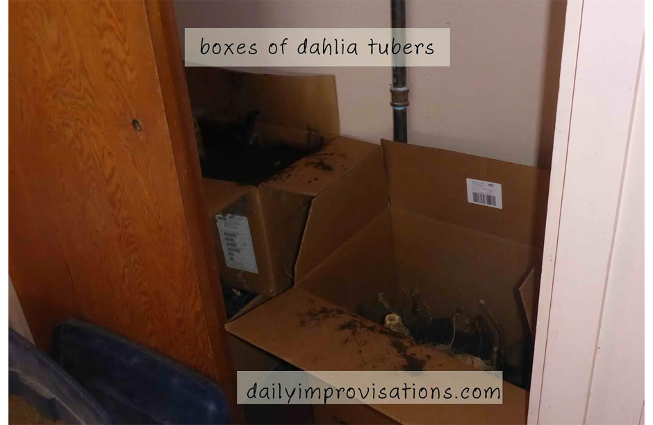 12152016_boxes-of-dahlia-tubers-in-garage-for-the-winter