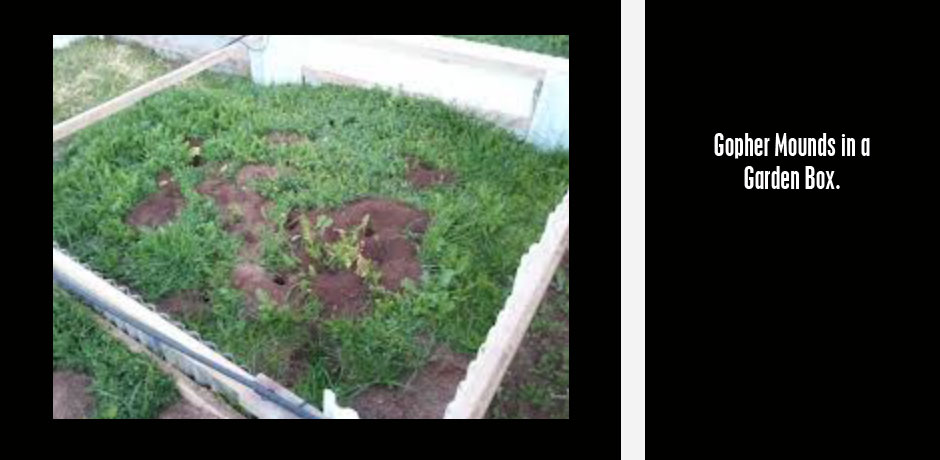 06092017_Gopher-Mounds-in-a-garden-box