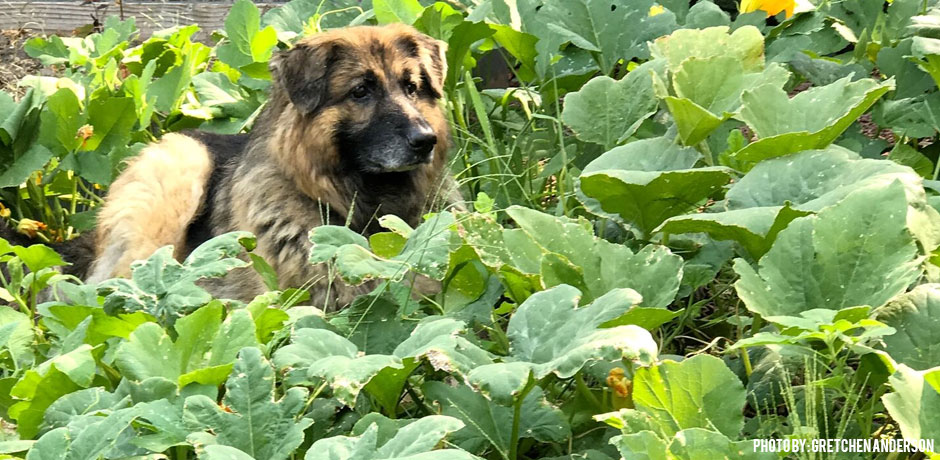 11012017_pumpkin-composting-dog-in-patch