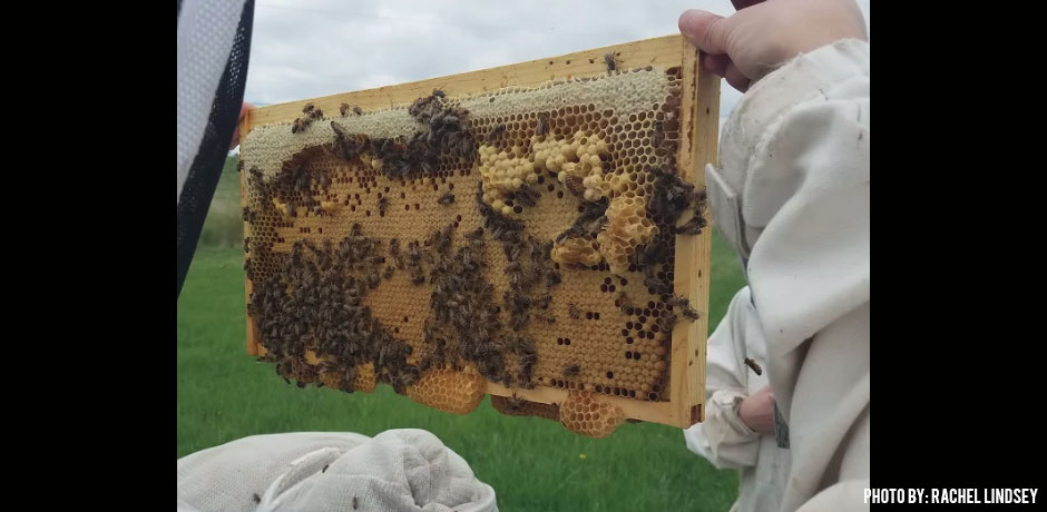06052018_BSU-Bee-Team-Collects-Nurse-Bees-capped-honey-on-a-frame