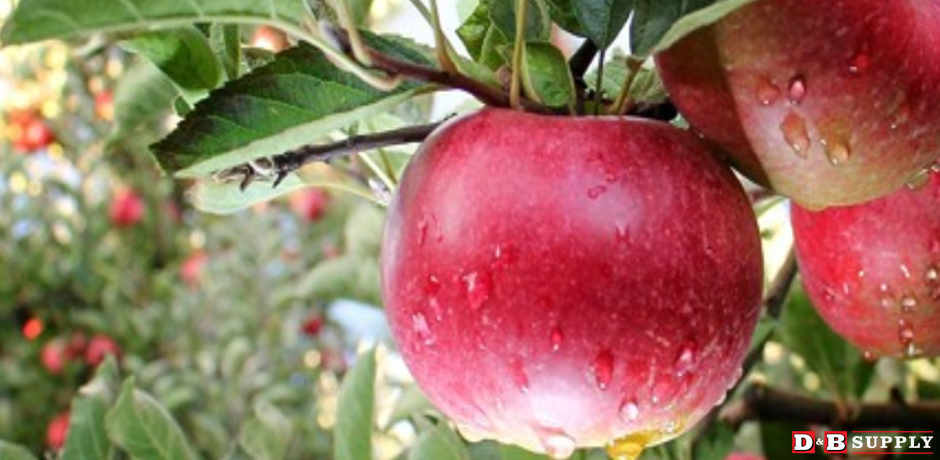 Pruning Fruit Trees - Colorful Red Apple