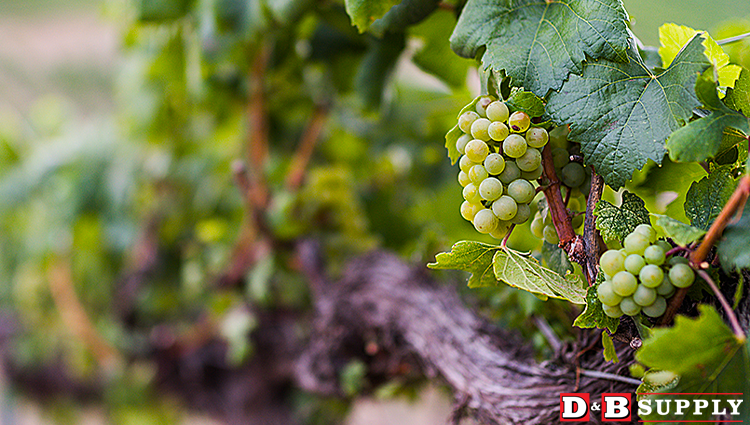 Idaho Wine- Grapes on the Vine Featured